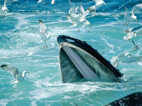 humpback-whale-massachusetts-mpa_17659_600x450