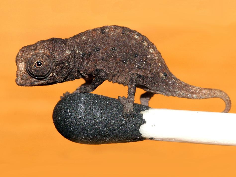 Smallest Chameleon in the world