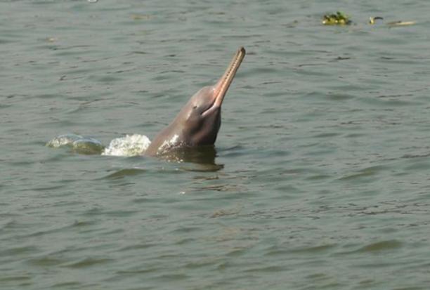 Platanista gangetica fiumi Gange e Indo